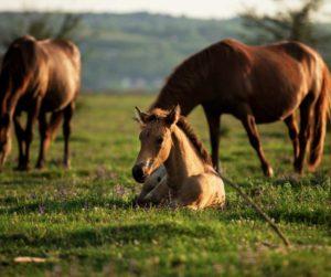 cheval en prairie HNP